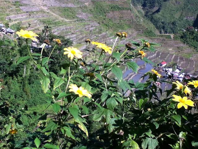 フィリピン・コルディリェーラの棚田群の画像 p1_3