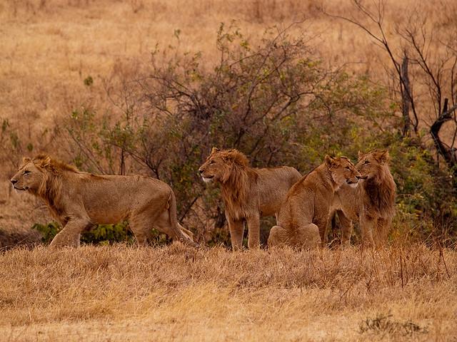 ンゴロンゴロ保全地域の画像 p1_9