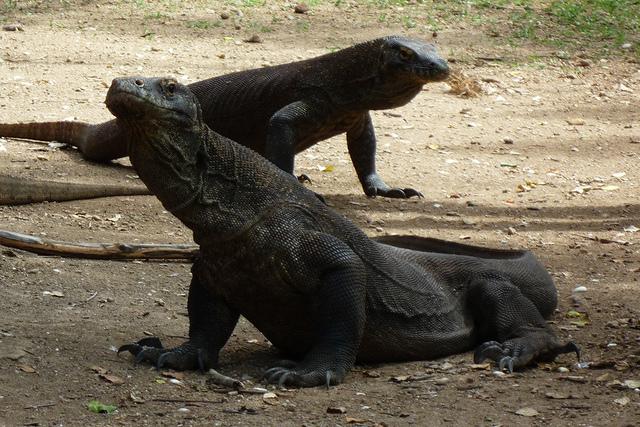 コモド国立公園の画像 p1_26